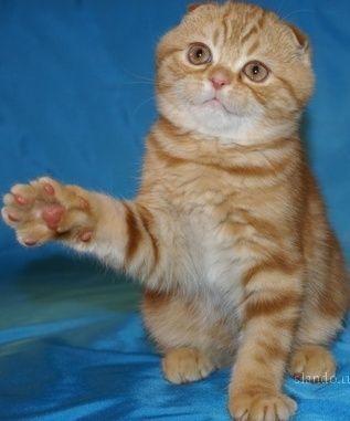 Беременность вислоухой кошки